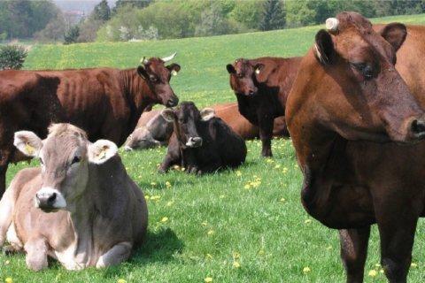 Regionale Produkte: Rinder auf einer Wiese