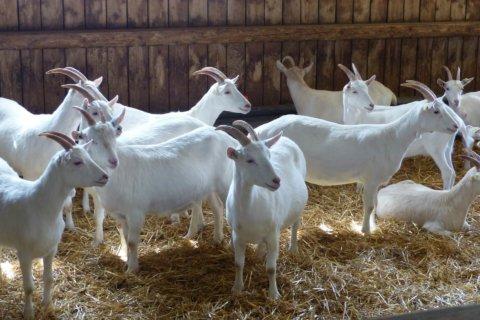 Mehrere Ziegen im Stall